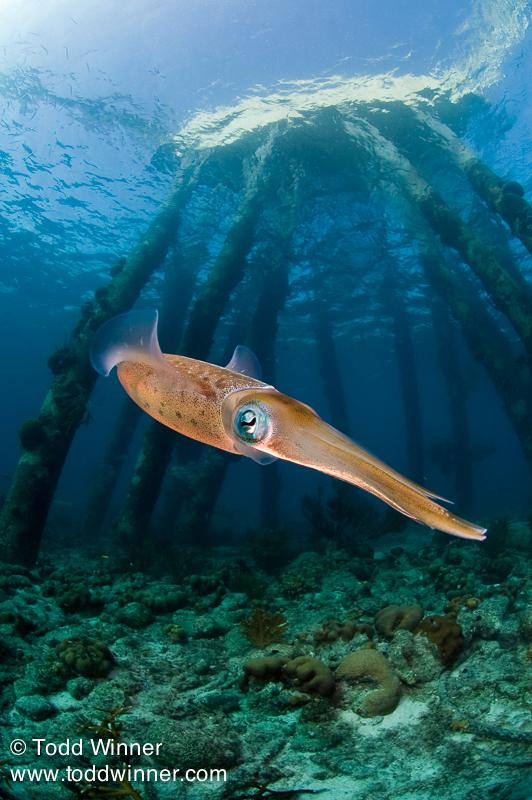 Caribbean Reef Squid, Salt Pier, Bonaire
