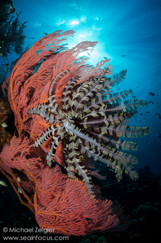 Crinoid on Sea Fan