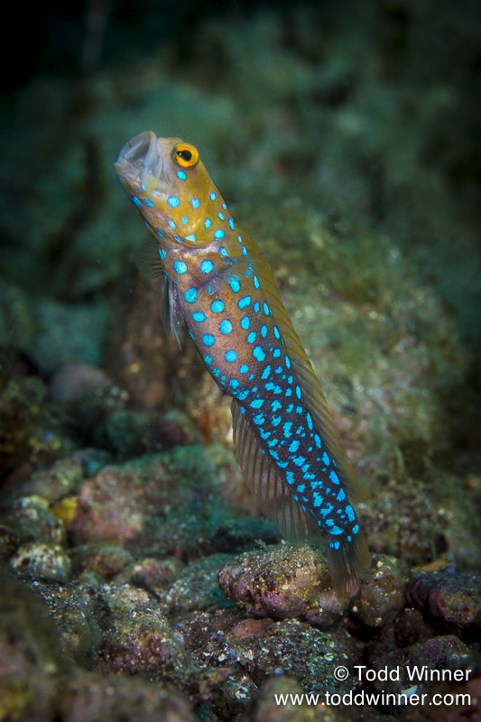 Blue Spot Jawfish Feeding, Sea of Cortez, Mexico Canon EOS 5D Mark lll, 100mm, 1/200, f/11, iso 160, 2 Ikelite DS160