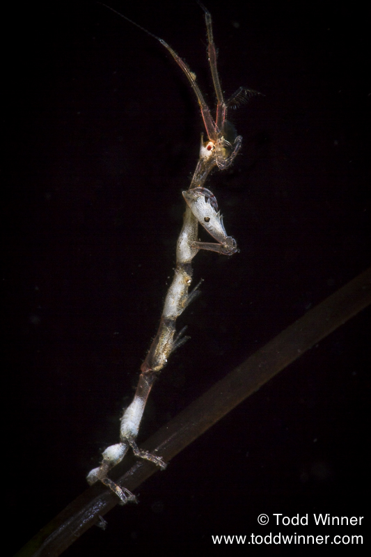 skeleton shrimp with macro lens Photo by Todd Winner & Michael Zeigler