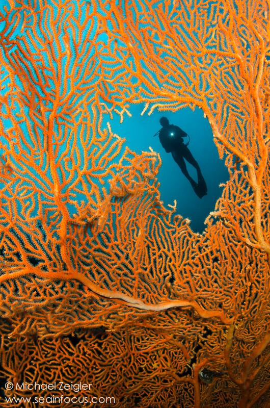 A diver passes over a large sea fan along the wall of Sawa Utara - Wakatobi.