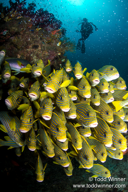 Sweetlips and Diver, Raja Ampat, Indonesia Canon 7D, EF8-15mm, 1/320, f/8.0, ISO 100