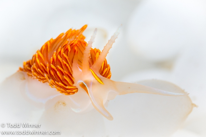 Hermissenda nudibranch on squid eggs.  Catalina Island, California