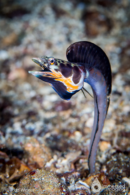 (nuptial male) The male Orangethroat Pikeblenny displaying his large dorsal fin to attract a female.