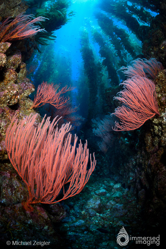 Red gorgonian sea fans line deep channels at Sutil Island, a small island near the coast of Santa Barbara Island, California. Shooting up allowed me to show the viewer the vastness of this amazing dive site.