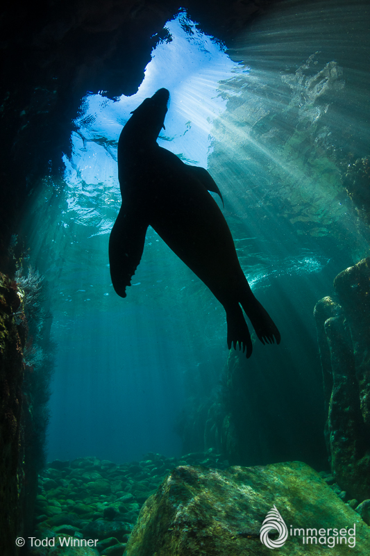 Sea Lion silhouette