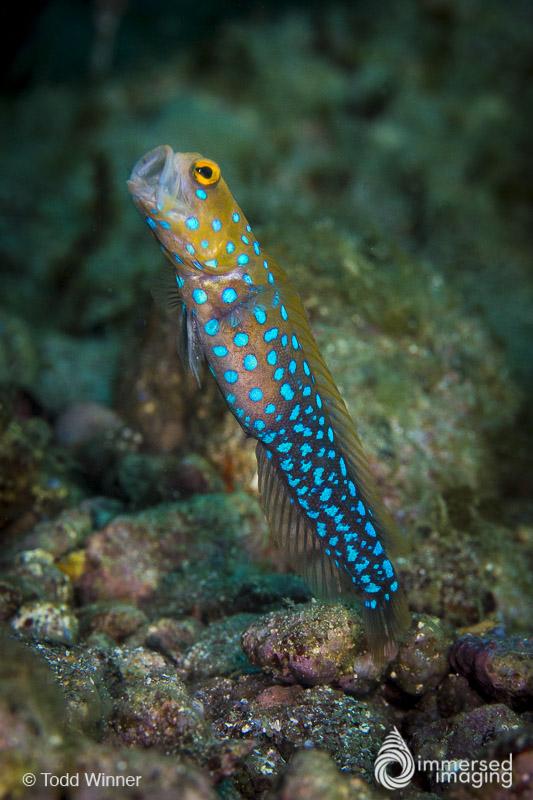 Blue Spot Jawfish Feeding