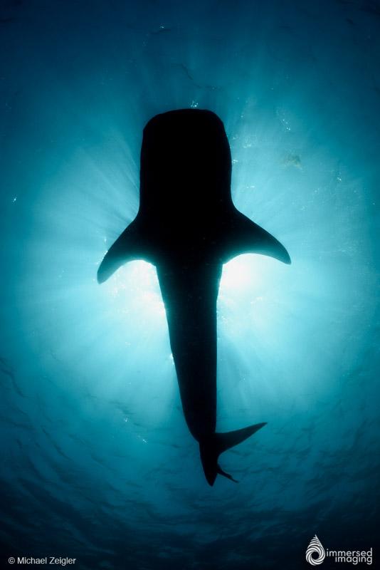 mz_whale_shark_sil